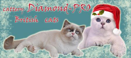 Питомник британских кошек шиншилл Diamond-PRO. Британские кошки: серебристая шиншилла, золотая шиншилла, сильвер и голден пойнт. Продажа котят. Cattery Diamond-PRO, British shorthair, british silver golden chinchilla und shaded, silver golden point, cats, kitten